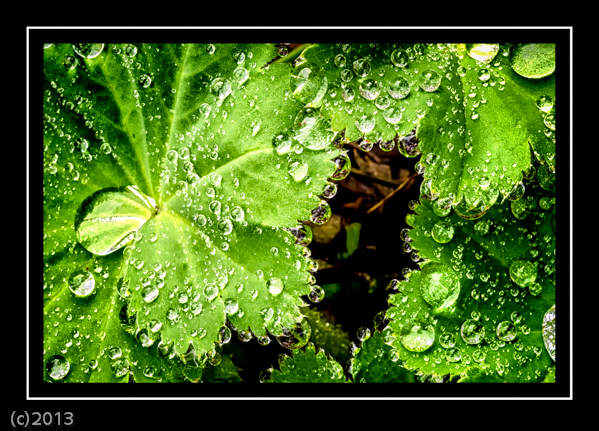 Day 119 - Lady's Mantle-