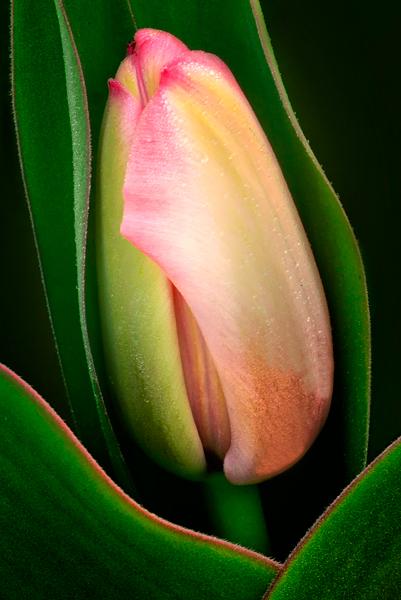 New-Tulip