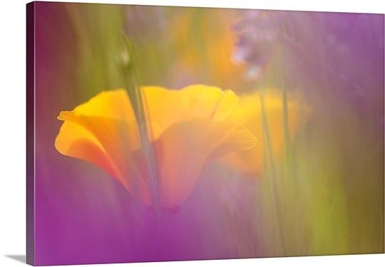orange-poppies-amidst-lavendar,mm1058