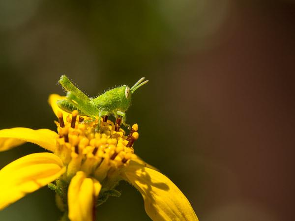 Graybird grasshopper nymph on San Diego sunflower, Los Angeles, California