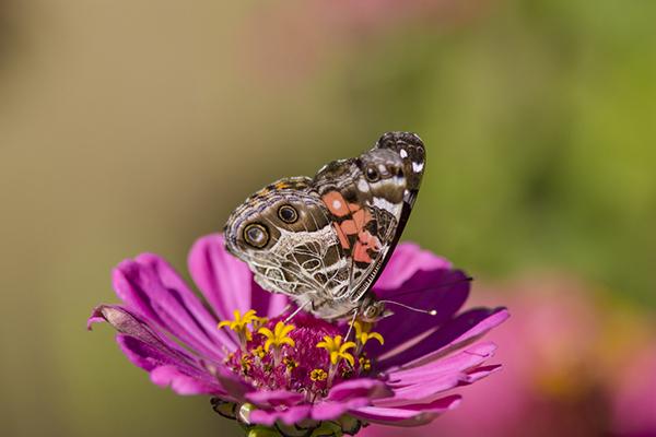 American lady butterfly feeding on zinnia, Ft. Davis Texas.