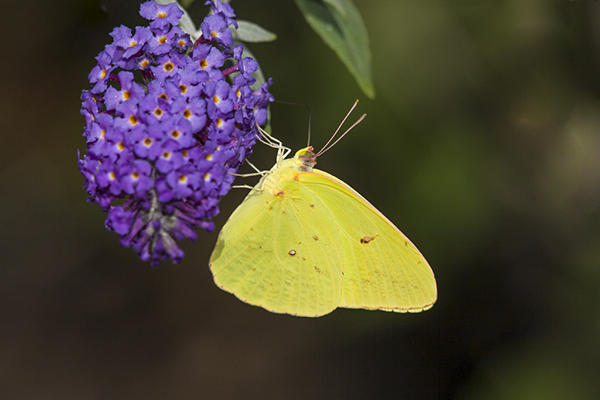 Cloudless sulphur, Phoebis sennae, perched on bloom, McLeansville, North Carolina, northeastern corner of the state.