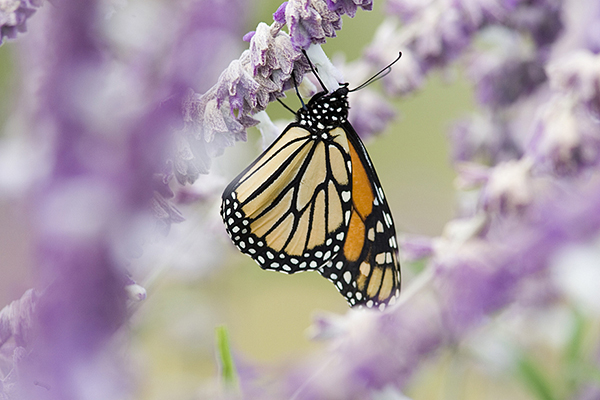 Monarch, Danaus plexippus, feeding on mexican bush sage, Ft. Davis, Texas.