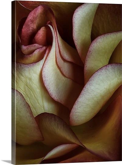red-rose,1019064